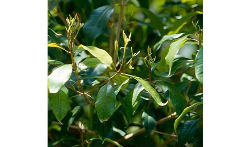 Clove Leaf Essential Oil- For Dental Care and Oral Hygiene