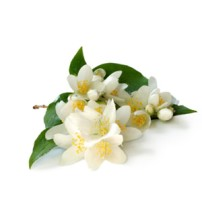 Jasmine Grandiflorum Absolute