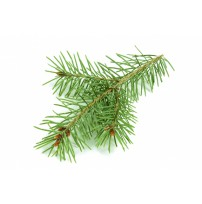 Norway Spruce Essential Oil